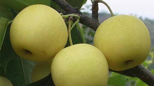 成都养老院经验分享-一暄康养-饭后吃梨,排泄致癌物质-树上的梨