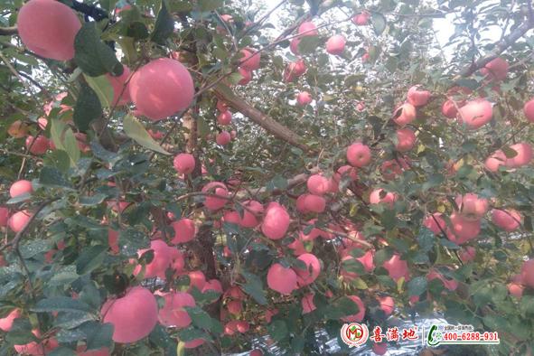 山东烟台莱阳苏大哥苹果用喜满地水溶肥长势