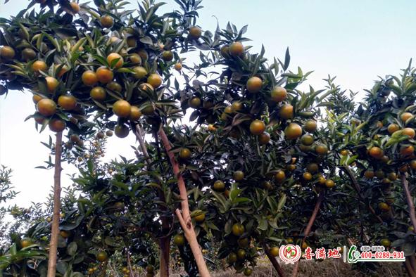 柑橘用喜满地水溶肥长势