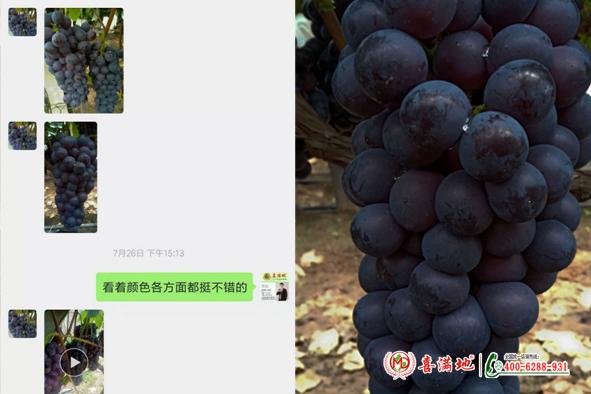 葡萄用喜满地水溶肥长势
