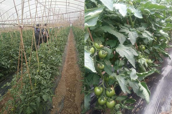 番茄用喜满地水溶肥长势