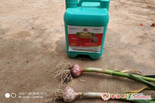 大蒜用喜满地水溶肥长势