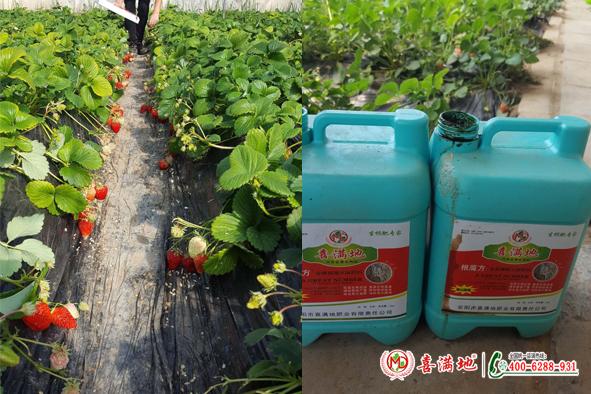 草莓用喜满地水溶肥长势