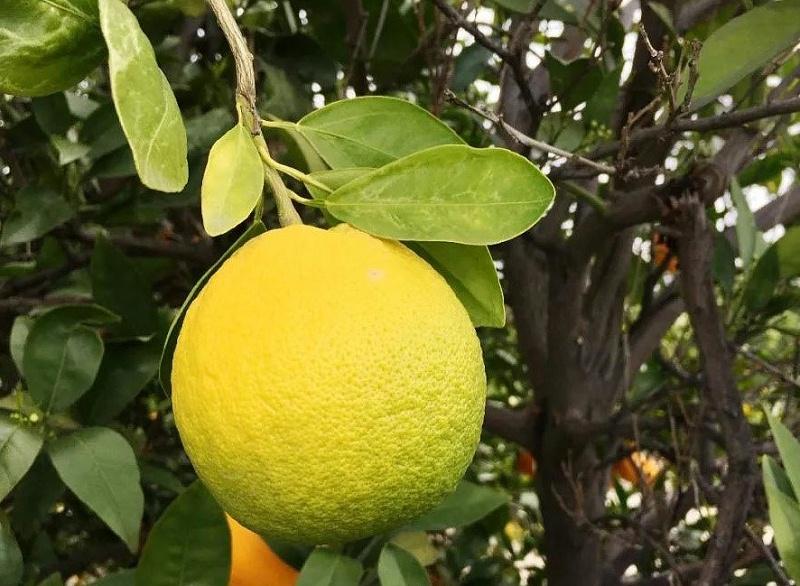 柑橘黄龙病1