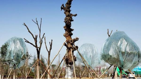 中威,中威春雨,大树移栽,树木移栽成活率,快活林生根粉