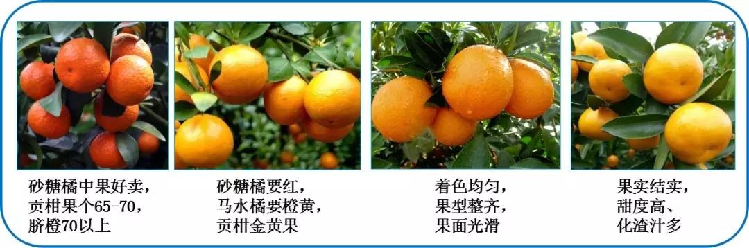中威,中威春雨,靓果机密,柑橘转色