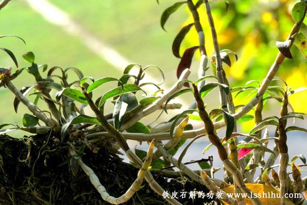 鐵皮石斛楓斗花的功效及食用方法