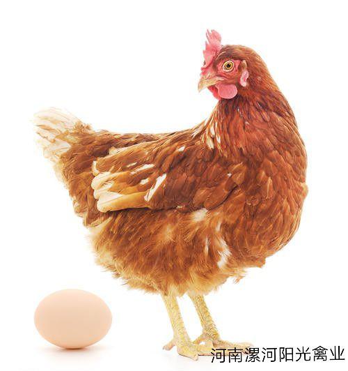 下蛋鸡2_副本