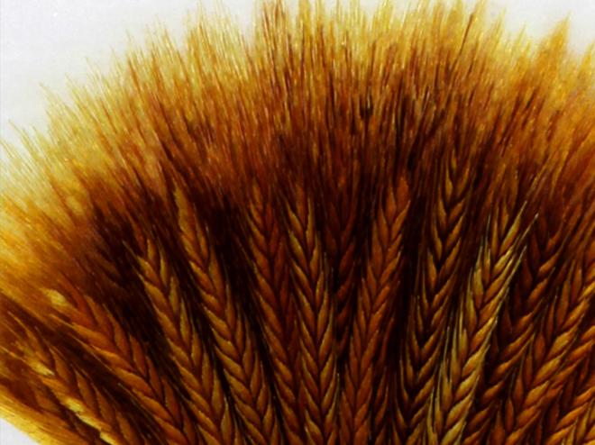 麦穗 (8)