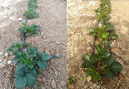 草莓全程用什么牌子肥料效果好,稼乐夫水溶肥