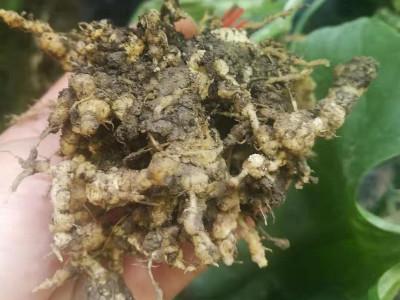 如何防治根结线虫病害