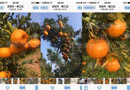 四川柑橘转色增甜用什么牌子叶面肥好,稼乐夫水溶肥