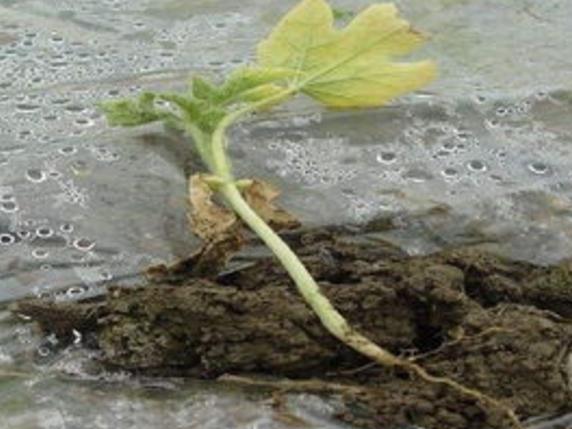 水溶肥使用过多会引起烧根现象