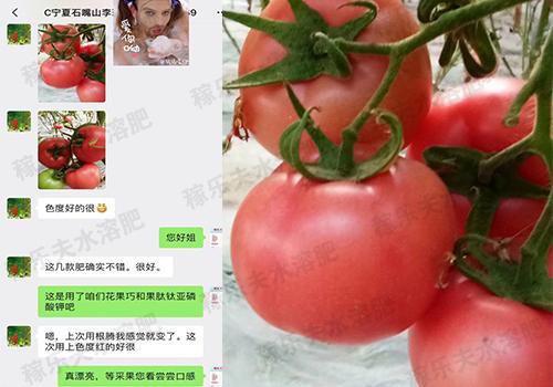 宁夏石嘴山番茄种植户李姐效果反馈
