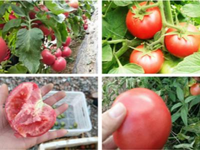 西红柿上用稼乐夫水溶肥