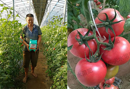 西红柿上使用稼乐夫高钾肥花果巧