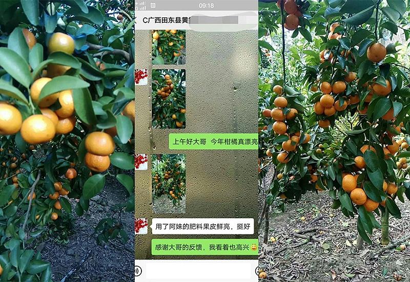 广西田东县柑橘种植户黄哥