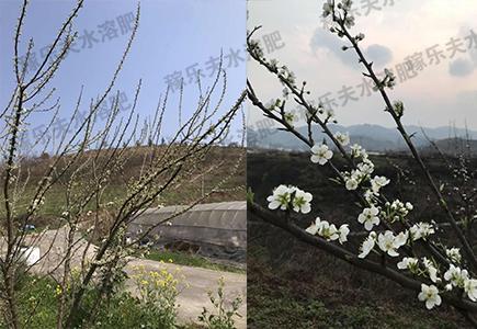 梨树使用稼乐夫肥料效果