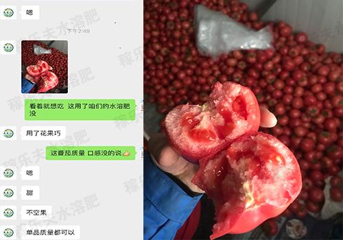 山西太谷县 王经理的番茄上使用液体花果巧反馈