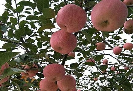 苹果上使用稼乐夫水溶肥