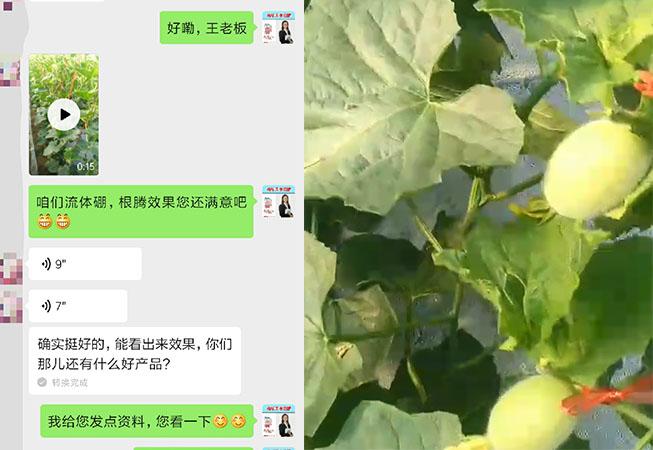山东海阳市甜瓜种植户王老板