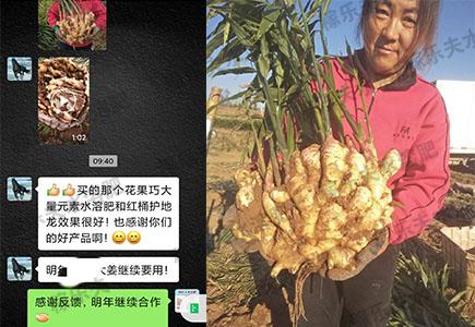 山东大姜上使用稼乐夫肥料效果反馈