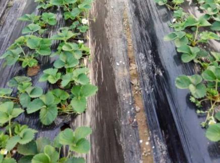 草莓苗上使用稼乐夫肥料效果