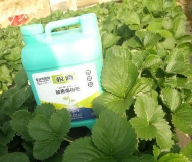 草莓苗上使用生根水溶肥根腾