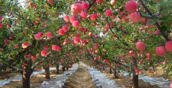 果树什么时候应施用钾肥?应该用哪种高钾型肥?