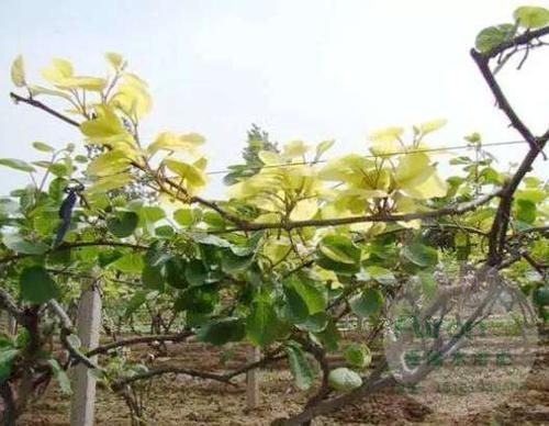 春梢缺铁黄化,猕猴桃