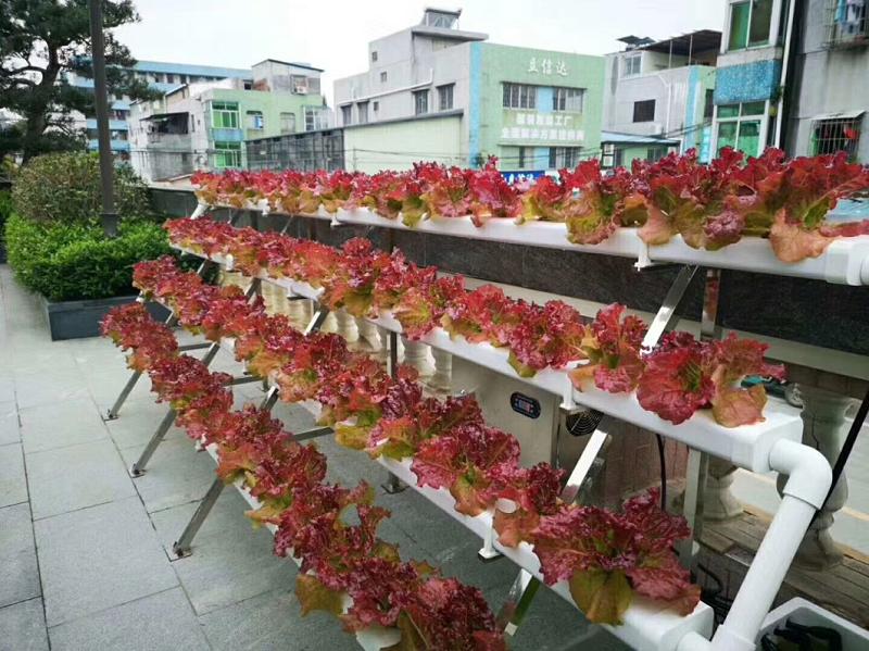图:南通荣成农业 叶菜类水培管道 红皱生菜