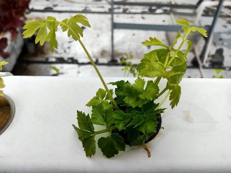 正确的管道水培种植香菜方法
