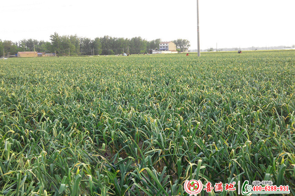 大蒜使用喜满地水溶肥效果