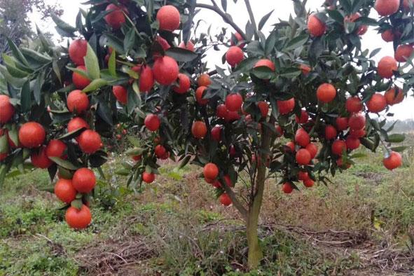 柑橘使用喜满地水溶肥效果