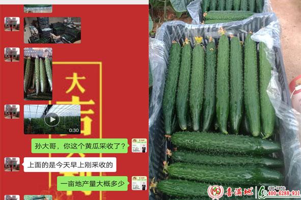 黄瓜使用喜满地水溶肥效果