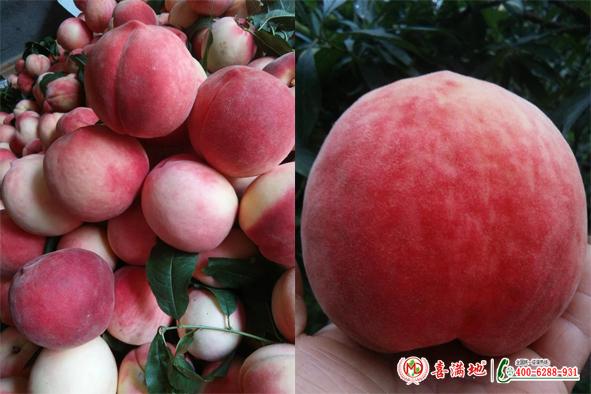 桃子使用喜满地水溶肥效果