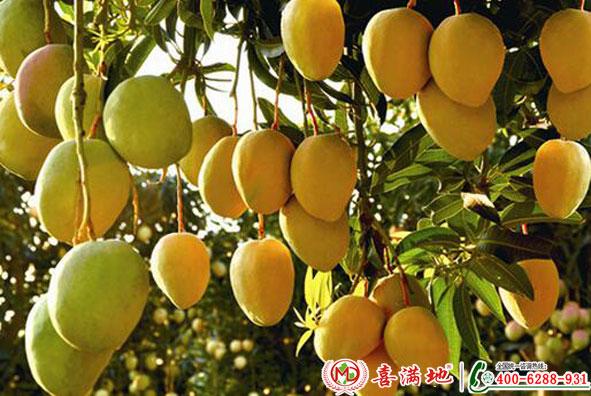 芒果使用喜满地水溶肥效果