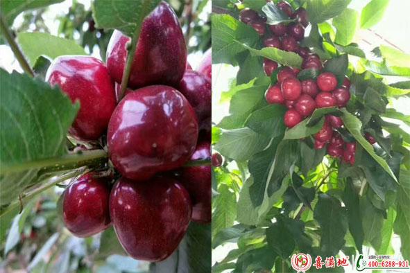 樱桃使用喜满地水溶肥效果