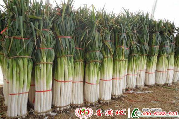 大葱使用喜满地水溶肥效果