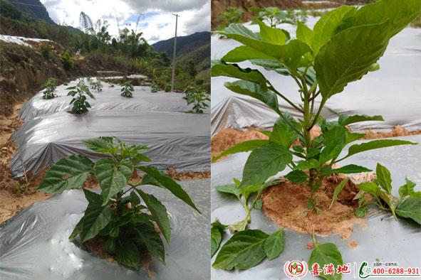辣椒使用喜满地水溶肥效果