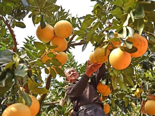 柚子用喜满地水溶肥长势