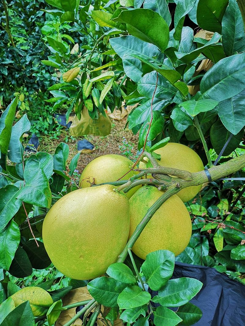 """使用""""黑老虎""""复合微生物菌肥的蜜柚果树"""