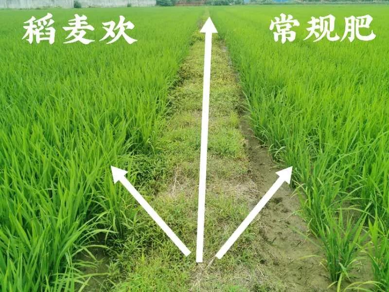 稻麦欢水稻专用肥使用效果