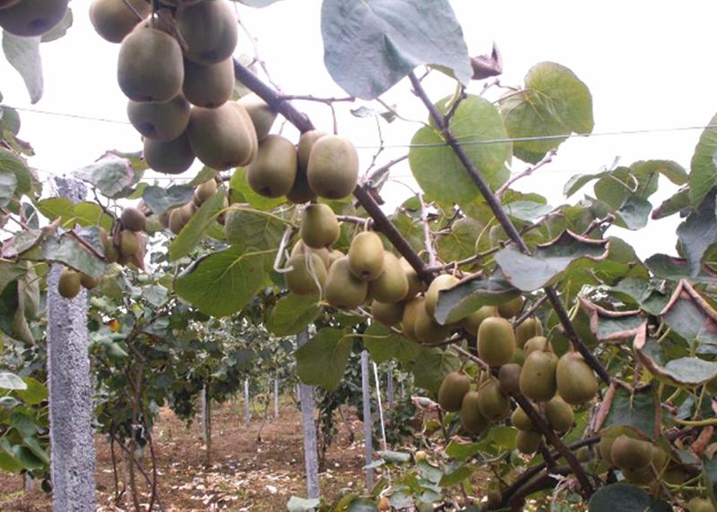 磷酸二氢钾-猕猴桃