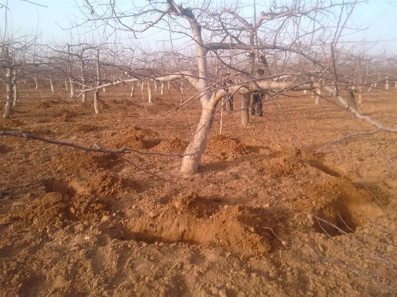 苹果树施肥
