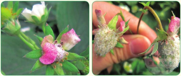草莓花瓣变粉