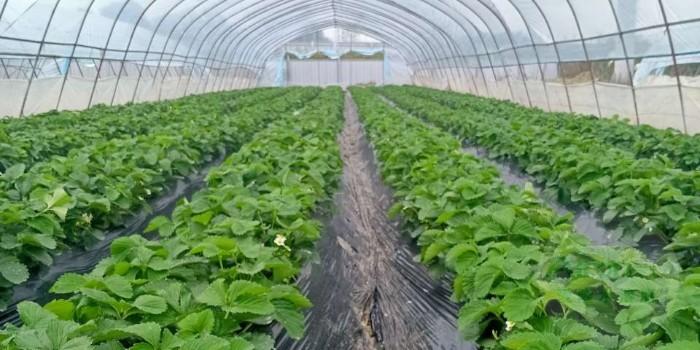 草莓肥害补救措施