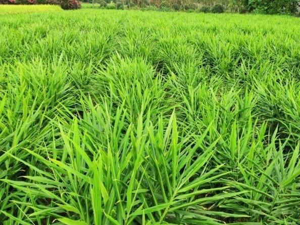 爱隆大姜水溶肥助力抚宁大姜高产高质量